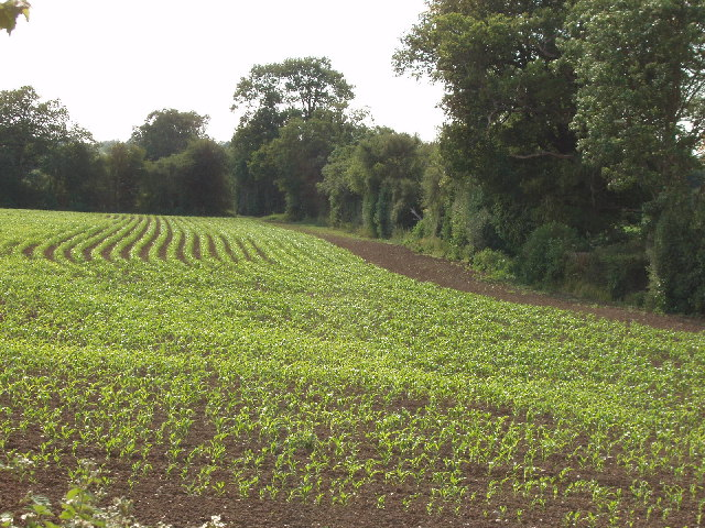 Planted field, between Harefield and Ickenham