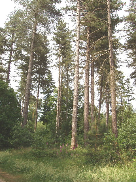 Trees in Black Park Country Park, Iver Heath