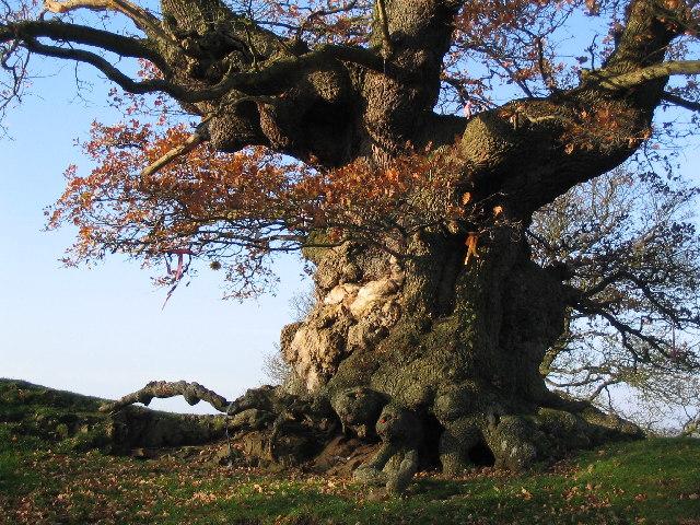 Ancient Oak Tree, Fowlet Farm, Hollybush