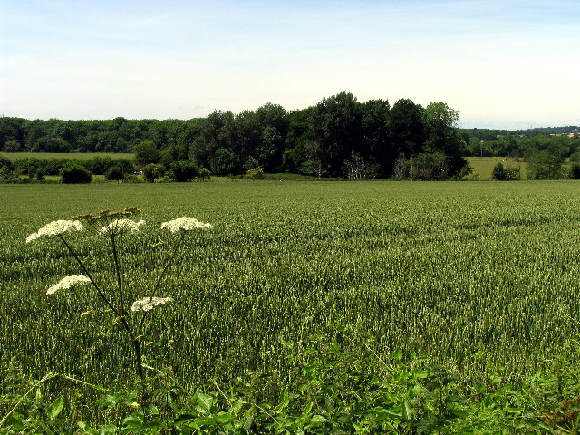 Wheat: Sulham Estate Farmland