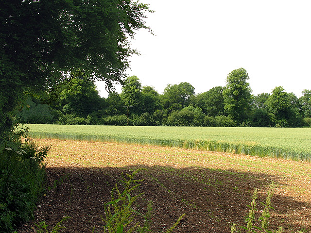 Wheat growing on farmland near Basildon