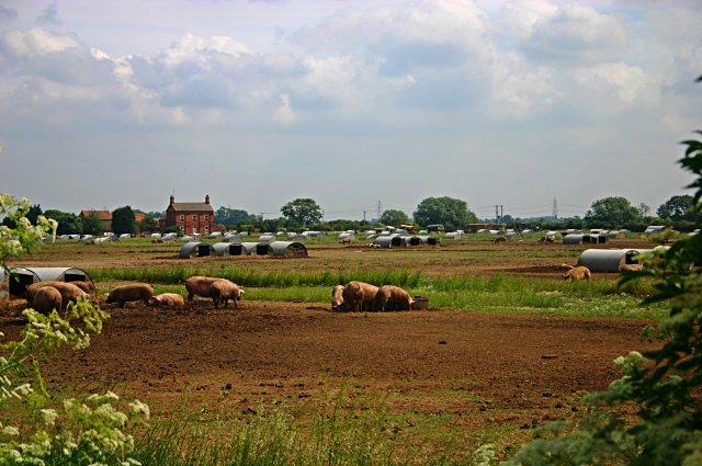 Free-range pig farming at North Muskham