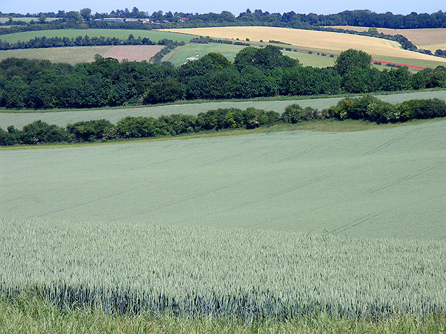 Wheat field at Cheseridge Farm