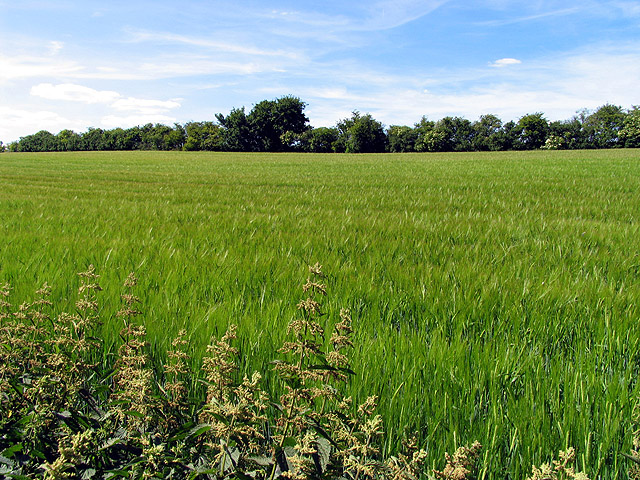 Fields of Barley near Compton