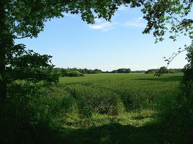 Wheat at Southfields Farm