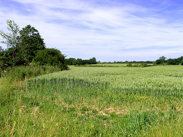 Wheat growing on farmland near Southfields