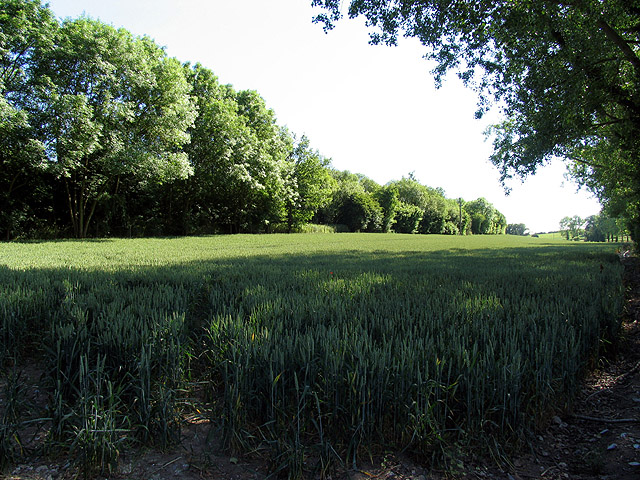 Wheat growingon farmland near Hampstead Norreys