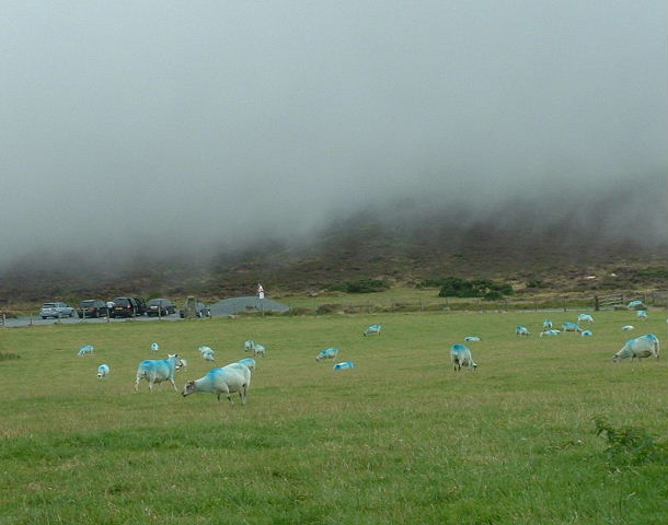 Blue sheep and mist