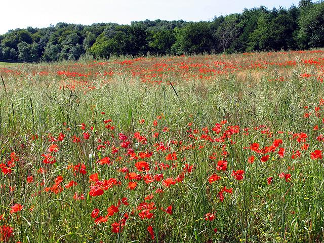 Poppies in Fallow Field