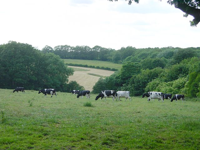 Milking herd near Hollingbourne Station