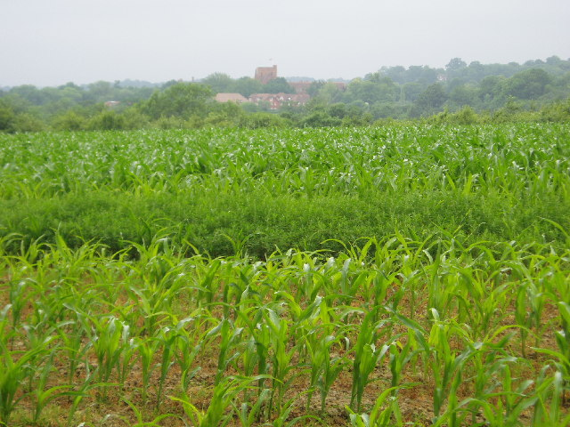 Over the field of corn to Ardingly College