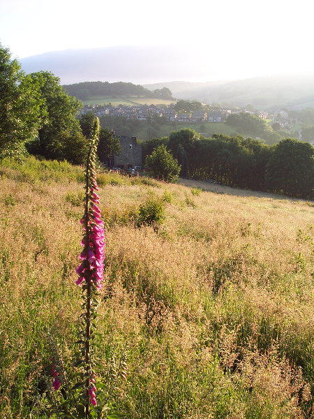 Foxglove and meadow, Luddendenfoot