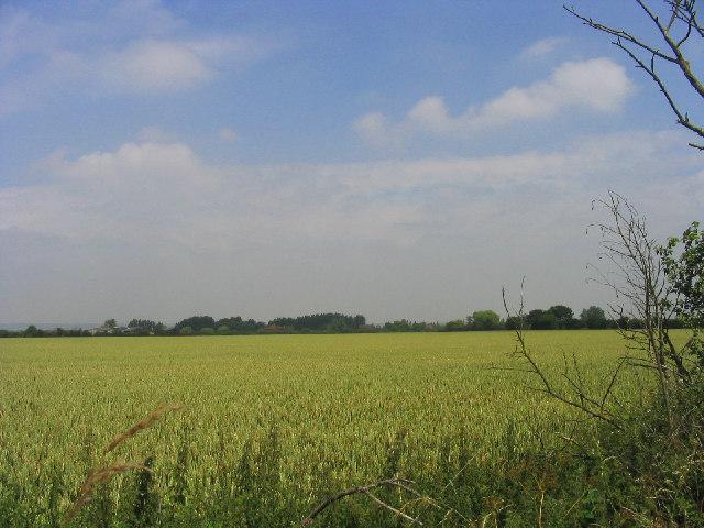Wheatfield on Bulphan/Orsett borders, Essex