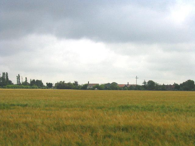 Field of barley, North Ockendon, Essex