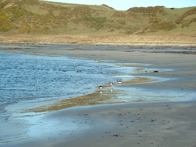 Oyster catchers on Ardwell Bay nx070450