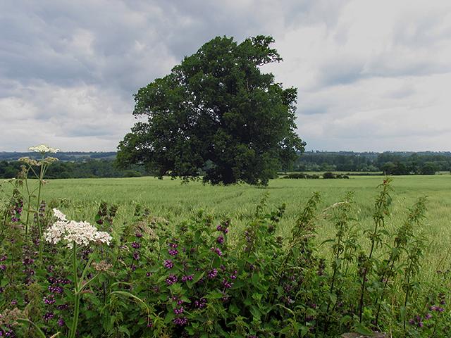 Fields of Barley: Farmland near Ufton Court