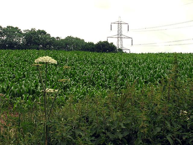 Cornfield near Sulhamstead