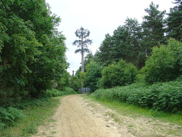 Tilgate Forest: natural and un-natural trees
