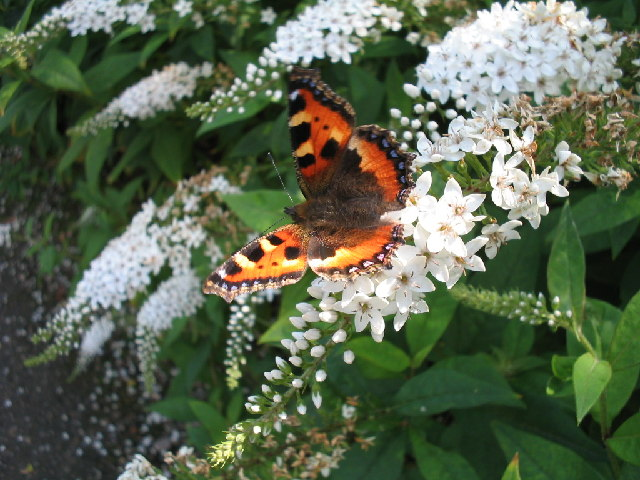 Small Tortoiseshell butterfly at Biddulph Grange