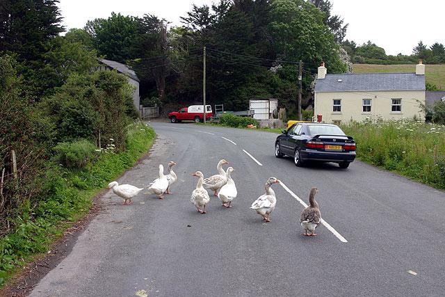 Geese at Eairy