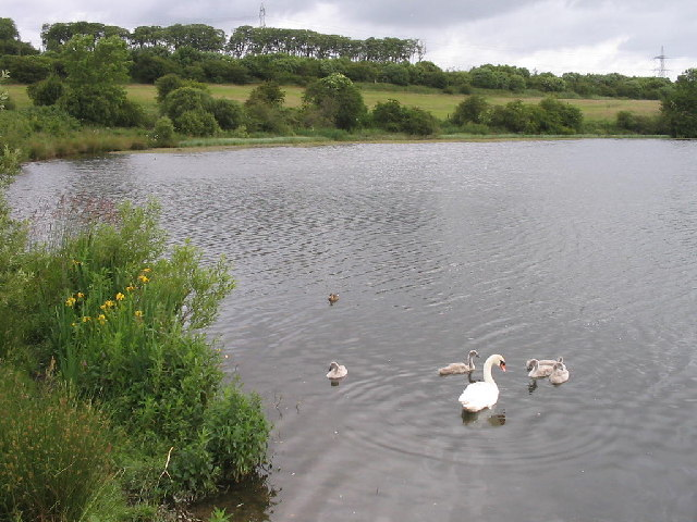 Swan and cygnets on Townhill Loch