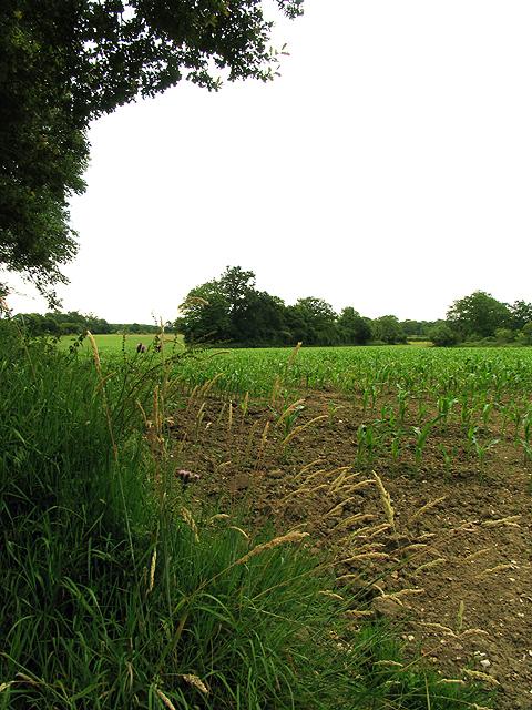 Cornfield in Wokefield