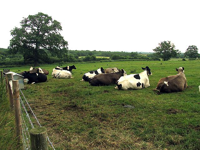 Cows resting on Great Park Farm near Wokefield