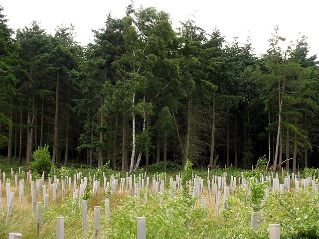 Great Copse: Plantation Management
