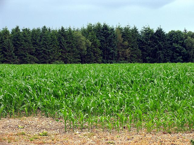 Cornfield near Bloomfield Hatch Farm