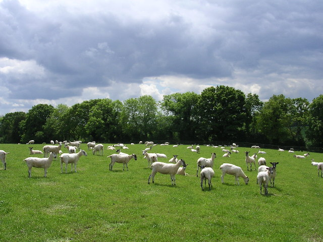 Shorn sheep, Whitsbury