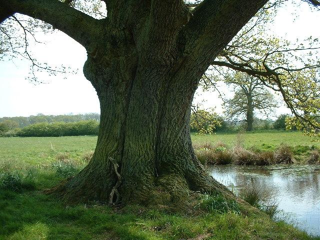 Old Oak next to Pond at Edolphs Farm