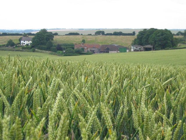 Barley Field, Icknield Way