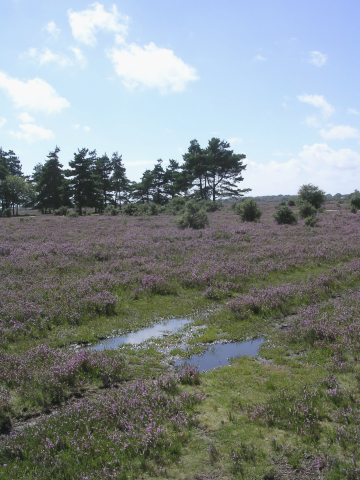 Heathland on the southern edge of the Hawkhill Inclosure, New Forest