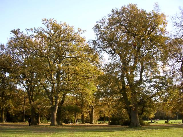Oak trees, Southampton Common