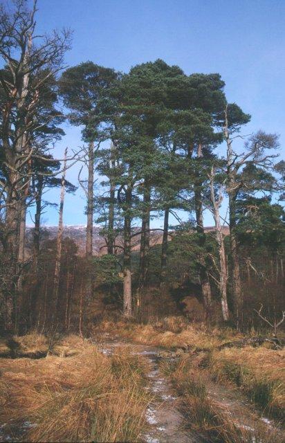 Scots pines, Coire Thoraidh