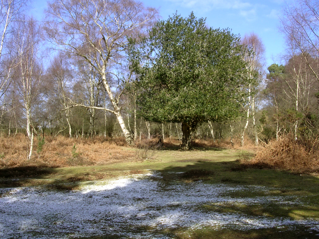 Silver Birch and Holly trees on the edge of Matley Wood, New Forest