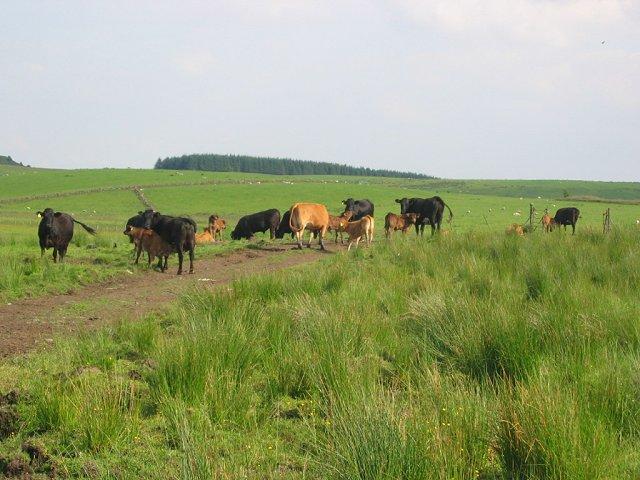 Cattle, Burnside.