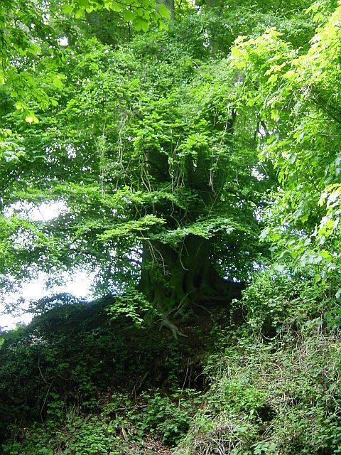 Beech Tree on Hollingbourne Hill