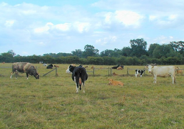 Cows near Wymeswold
