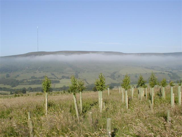 Newly Planted Trees, Bilsdale