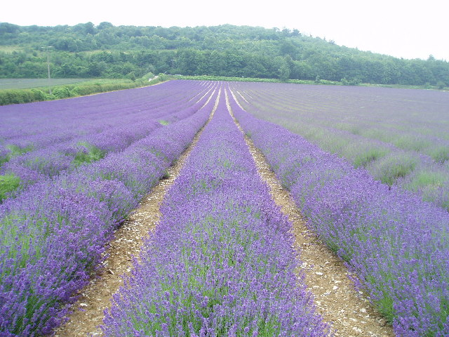 The Hop Shop Lavender fields