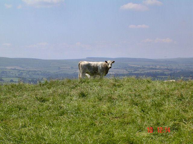 Devon cattle