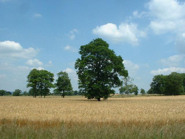 Oak tree in corn field
