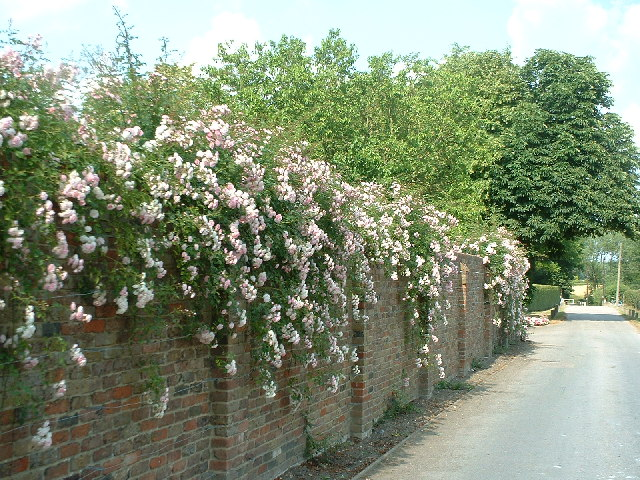 Climbing roses on wall near Little Mynthurst Farm