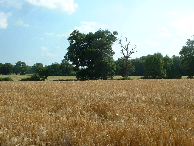 Cornfield taken from public footpath at Nutley Dean Farm