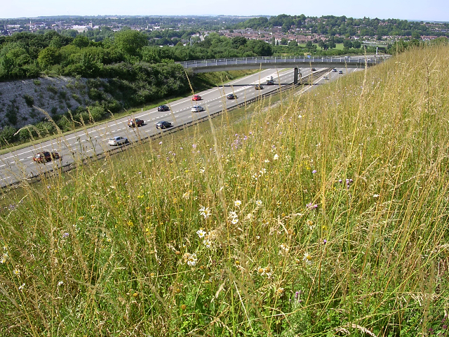 Downland grasses on the edge of the M3 Twyford cutting