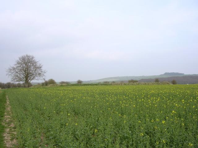 Rape field between Handley Down and Oakley Down