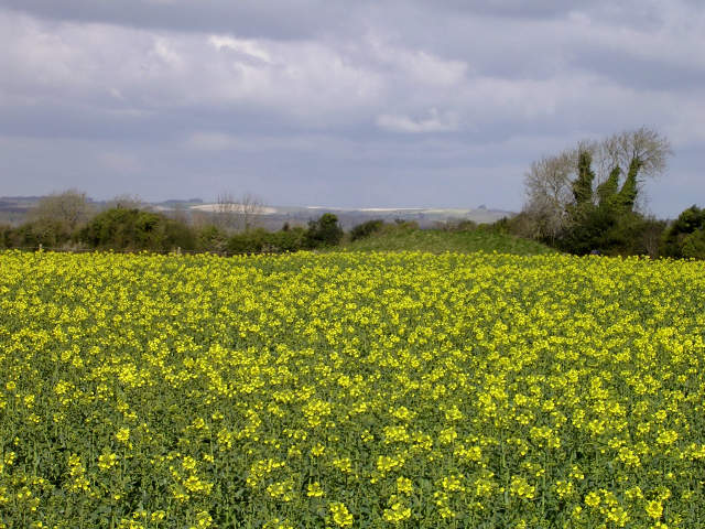 Rape field and protruding long barrow mound, Thickthorn Down