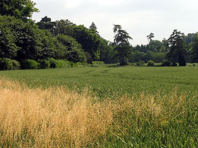 Wheat Growing on Farmland near Poughley