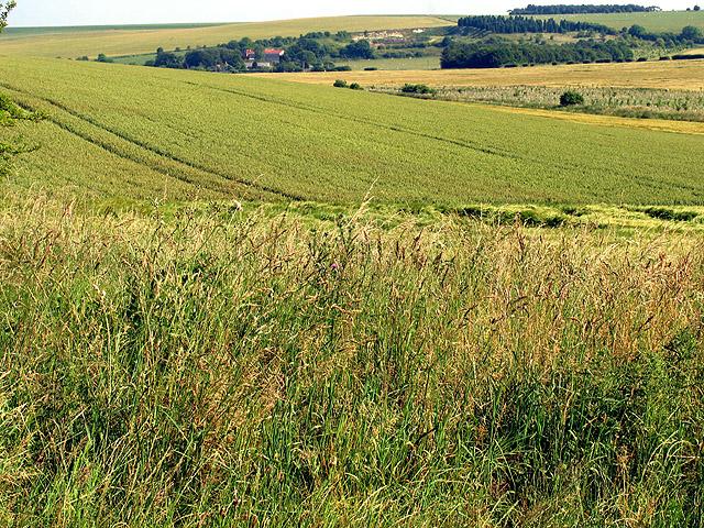 Barley Fields near Upper Lambourn
